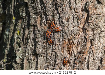 Several beetles of firebug on the bark of a tree (Pyrrhocoris apterus)