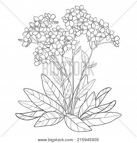 Vector bouquet with outline Forget me not or Myosotis flower, bunch, bud and leaves in black isolated on white background. Wildflower Forget me not in contour style for spring design and coloring book.