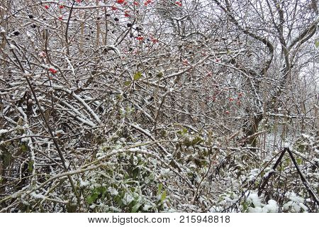Ripe Viburnum On A Branch Under The Snow In Winter