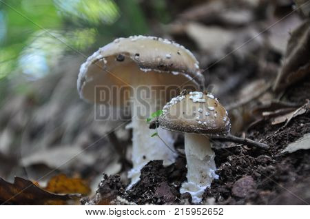 Toadstool (Amanita pantherina) mushroom in the forest. Beautiful and poisonous mushroom amanita pantherina
