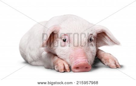 Lying pig domestic animals farm animals livestock farming livestock feed livestock breeding