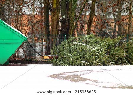 Recycling of cone-bearing evergreen tree. Christmas tree laying on the floor.