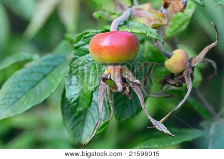 Rosehips, Fruit Of An Old English Rose