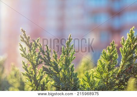 Thuja Foliage In The Sunlight