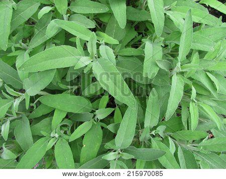 Fresh salvia officinalis plant in a garden