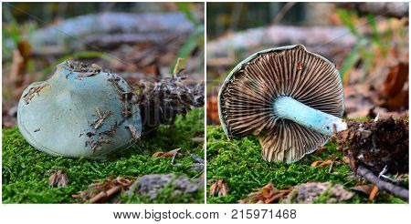 Clitocybe odora mushroom known as the aniseed funnel toadstool