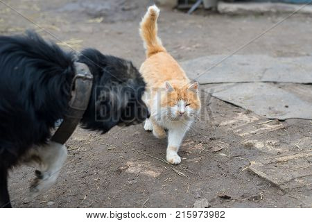 Yard Dog On A Chain With Envy Looking At Walking Ginger Cat.