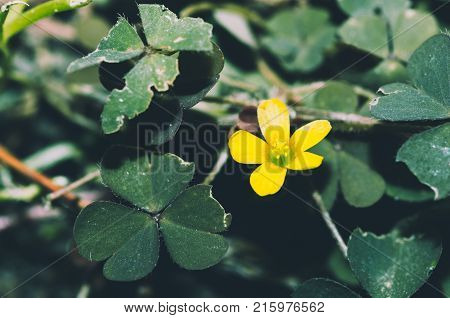Yellow garden flower. Common yellow woodsorrel - Oxalis stricta sorrel flower close up in the garden in autumn season