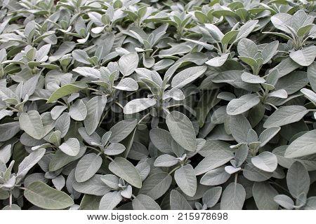 Sage (salvia officinalis) closeup. Herbal background closeup.