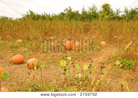Pumpkins In A Field