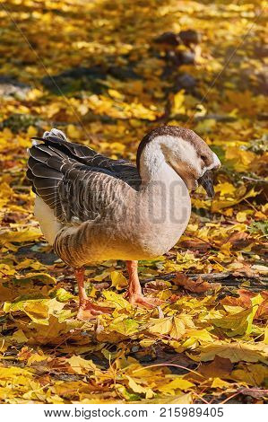 Swan Goose (Anser Cygnoides) in the Yellow Leaves
