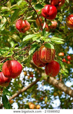 Apples In An Apple Tree