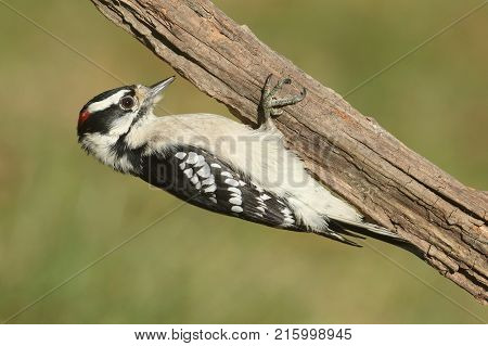Male Downy Woodpecker Picoides pubescens  on a upside down branch with a green background