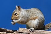 Gray Squirrel (sciurus carolinensis) eating on a log with a blue background poster