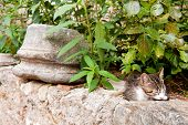 Greek tabby stray cat outdoor on a stone wall poster