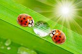 Two ladybugs drinking fresh morning dew. poster