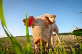 Shy young pig behind a grass straw poster