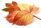 Red leaves and autumnal isolated in white bottom poster