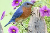 Male Eastern Bluebird (Sialia sialis) on a fence covered with flowers poster