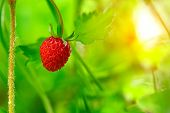 Closeup of ripe wild strawberry hanging on stem on a meadow. Outdoor shoot poster