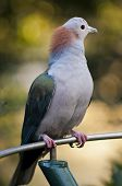 Imperial pigeon looking away from the camera poster
