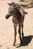 A Baby Zebra Stands on His Long Skinny Legs in the African Desert poster