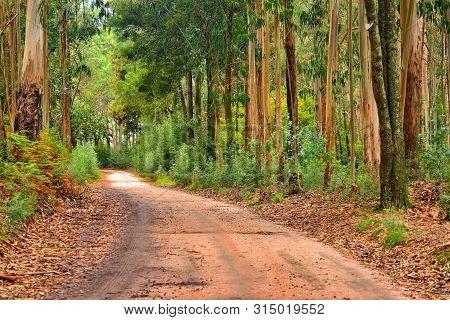 Autumn; Eucalyptus Forest And Invasive Vegetation In Galicia, Spain