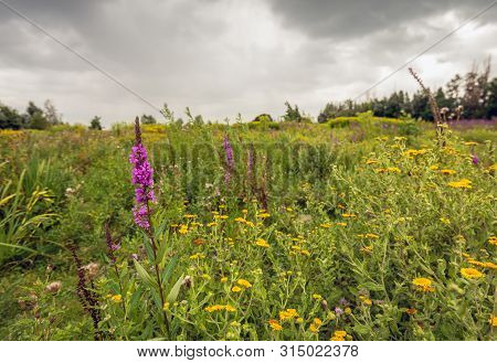 Purple Loosestrife Or Lythrum Salicaria And Yellow Flowering Common Fleabane Or Pulicaria Dysenteric