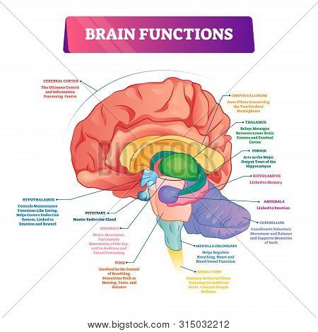 Brain Functions Vector Illustration. Labeled Explanation Head Organ Parts Scheme. Inner Side View Wi