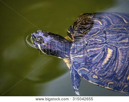 A Common Slider Turtle, Trachemys, Swims In A Moat-like Pond In A Park In Tokyo, Japan.