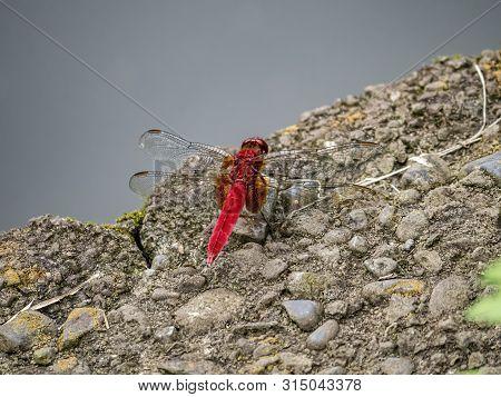 A Scarlet Skimmer Or Ruddy Marsh Skimmer, Crocothemis Servilia, Resting Beside A Small Pond In A Jap
