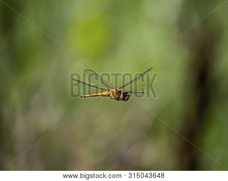 A Wandering Glider, Pantala Flavescens, Also Called A Globe Skimmer Or Globe Wanderer, Hovers Over A