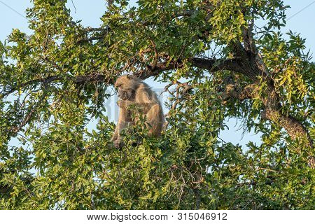A Chacma Baboon, Papio Ursinus, Eating Fruit In A Tree