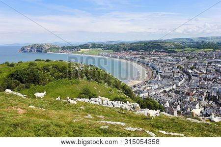 A Herd Of Wild Kashmiri Goats Graze On The Great Orme Headland High Above The Seaside Resort Town Of