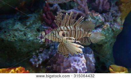 Aquarium With Beautiful Lionfish. Tropical Exotic Fishes Swim In Marine Life Aquarium. Underwater Se