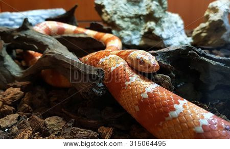 Red Snake Is A Popular Snake. Raising A Pet Hunt For Small Prey By Shrinking Found Throughout The So