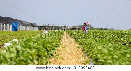 Strawberry field in the village of Kisac. Kisac is located in the Voivodina, Serbia and is known for the cultivation of the strawberries