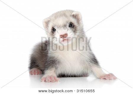 Ferret Puppy