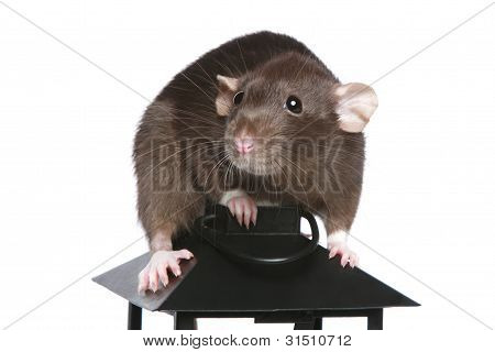 Brown rat sitting on a decorative lamp. Isolated on a white background poster