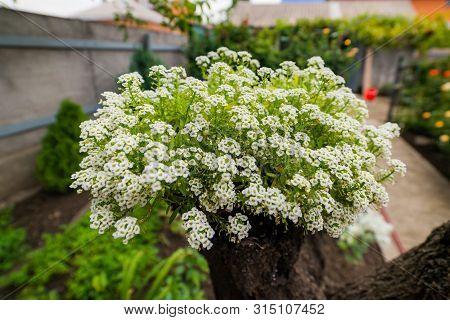 Sweet Alyssum Snow Cloth - Latin Name - Lobularia Maritima Snow Cloth Or Alyssum Maritimum Snow Clot