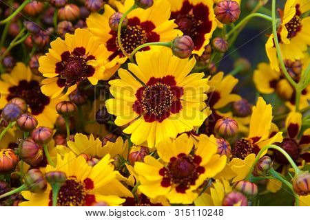 Cluster Of Coreopsis Tinctoria (plains Coreopsis, Calliopsis) A Species Of Flower In The Asteraceae