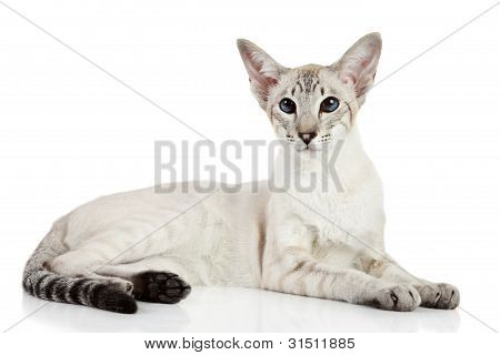Oriental blue-point cat lying on white background poster