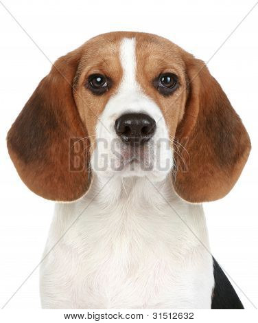 Beagle puppy portrait. Isolated on a white background poster