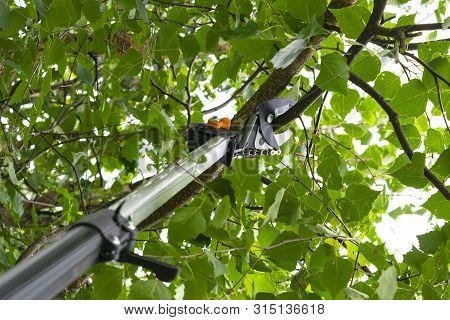 Seasonal Pruning Trees With Pruning Shears. Gardener Pruning Fruit Trees With Pruning Shears. Taking
