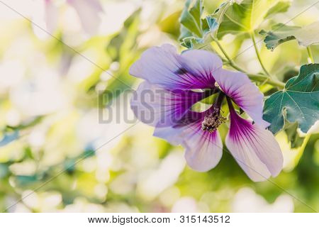 Hibiscus Syriacus Althea Rose Of Sharon Flower (also Called Aphhrodite Hibiscus) With Purple And Whi