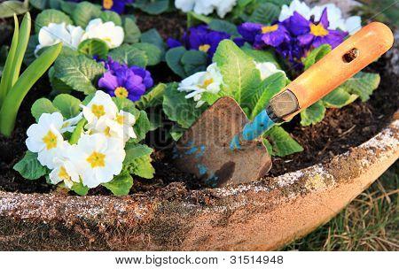 Primrose Flower And Little Shovel