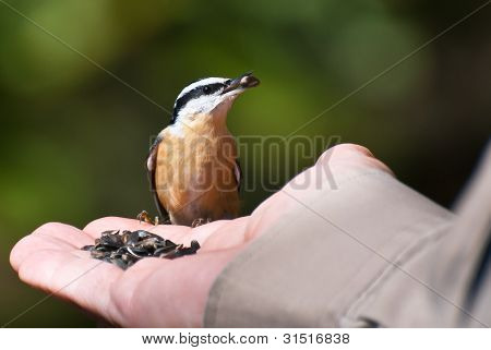 Red Breasted Nuthatch Eating From A Human Hand
