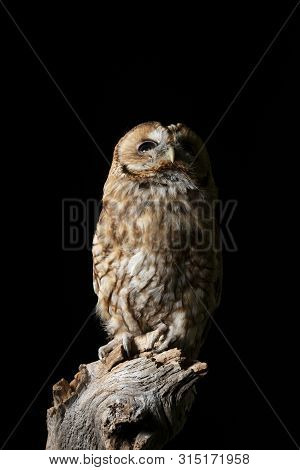 Beautiful portrait of Tawny Owl Strix Aluco isolated on black in studio setting with dramatic lighting poster