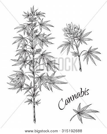 Hand Drawn Cannabis. Linear Sketch Of Marijuana Branch Leaves And Cones. Vector Artwork Hemp Plant B