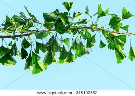 Ginkgo Biloba Branch With Green Leaves Against A Blue Sky. Empty Place For Text, Copy Space.